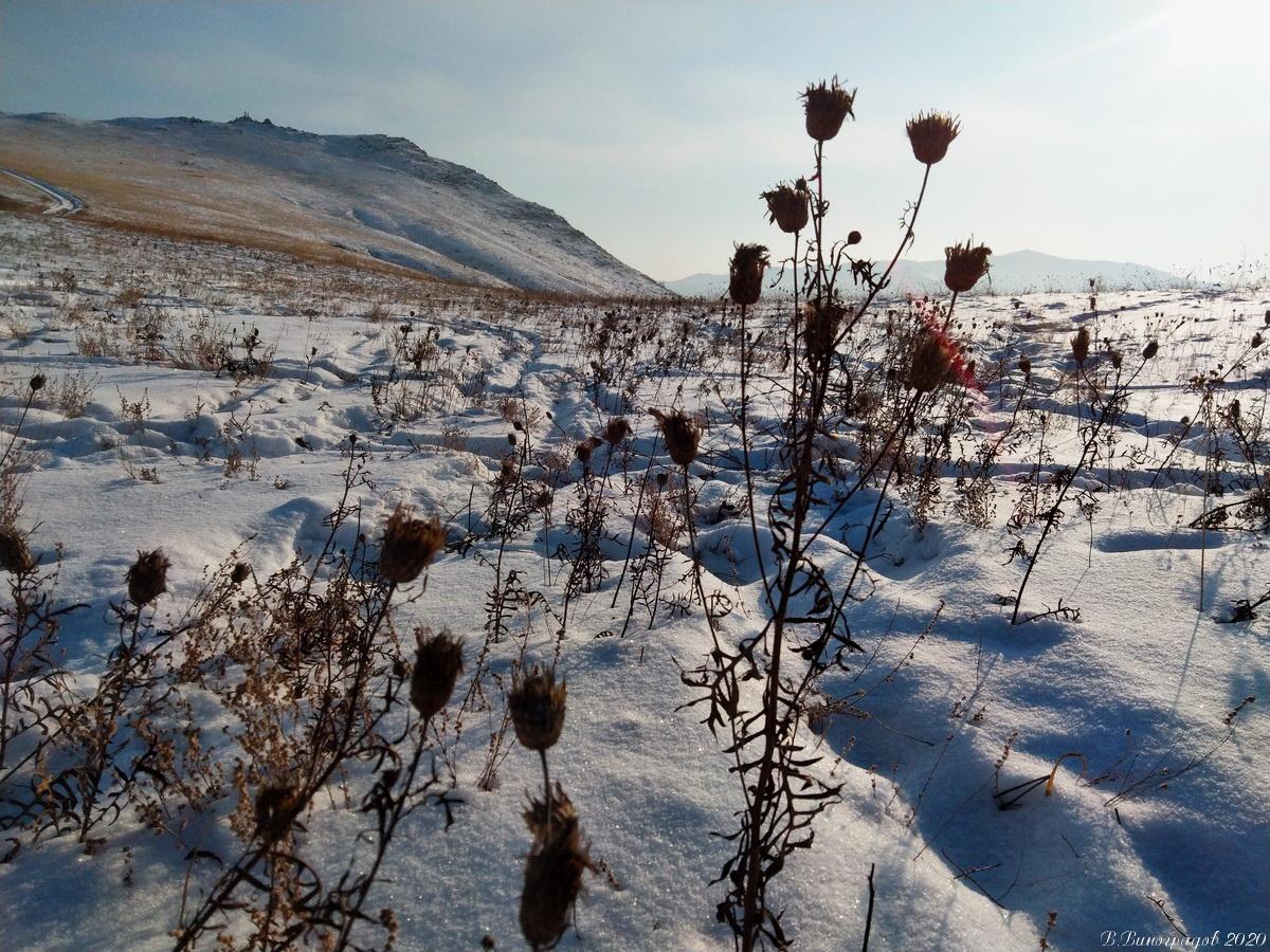 Трава чертополох зимой