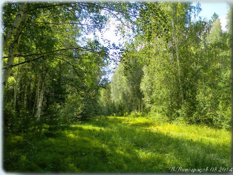 Березы в лесу
