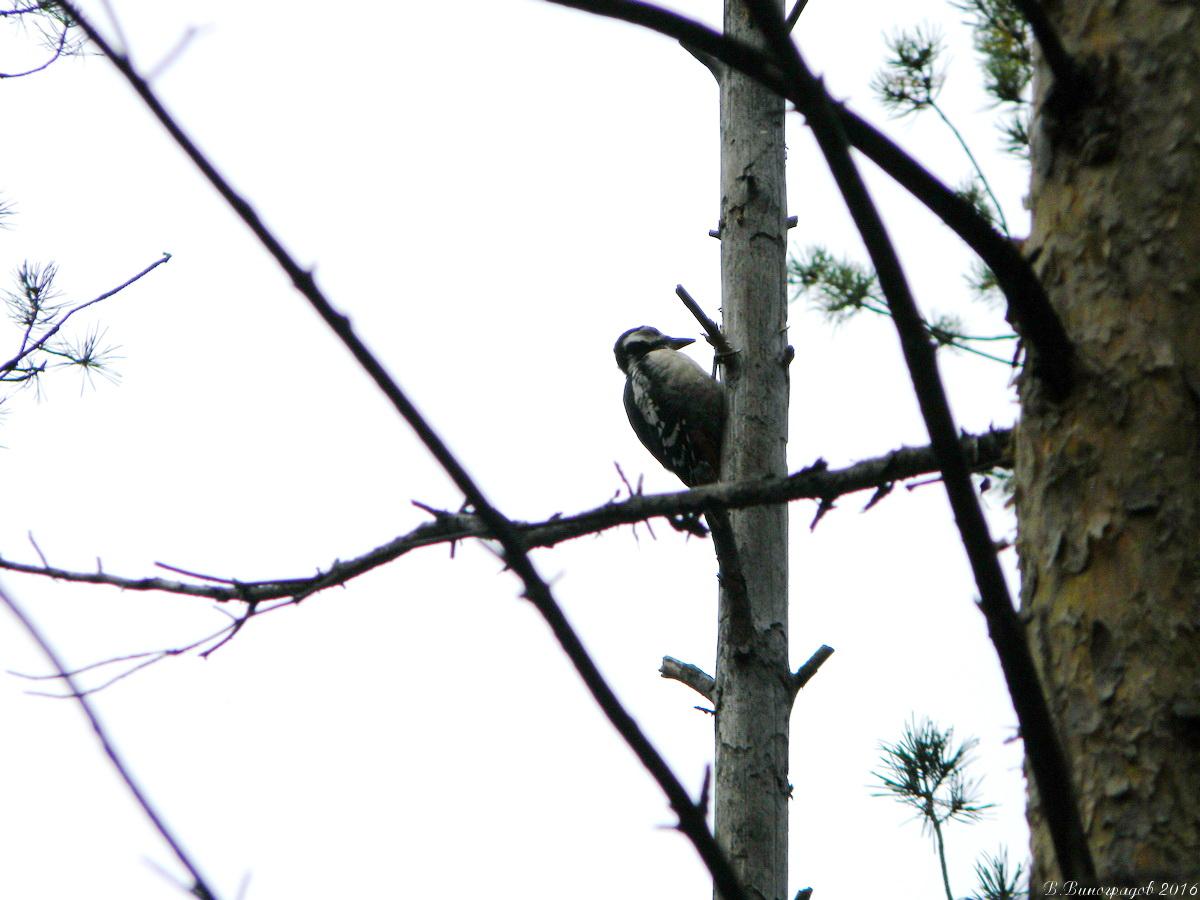 Дятел на дереве