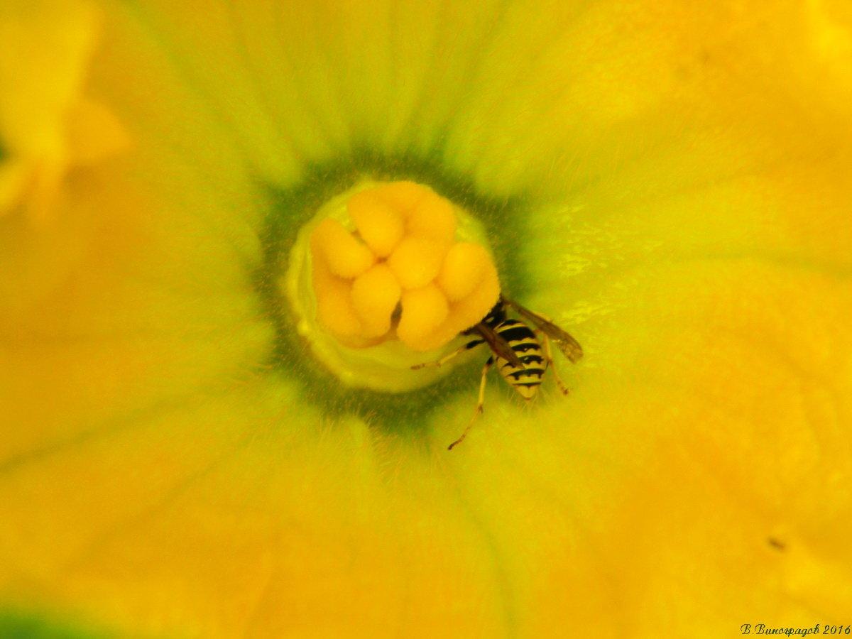 Оса в цветке
