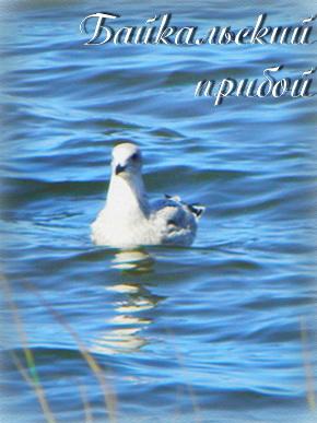 Байкльская чайка на байкальском прибое