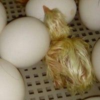 Инкубационное яйцо - цыпленок