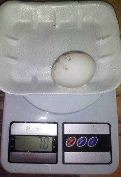 Сколько весит яйцо домашней курочки