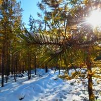 Зимний лес (фото)