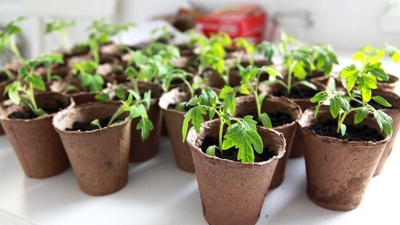 томаты. рассада в стаканчиках